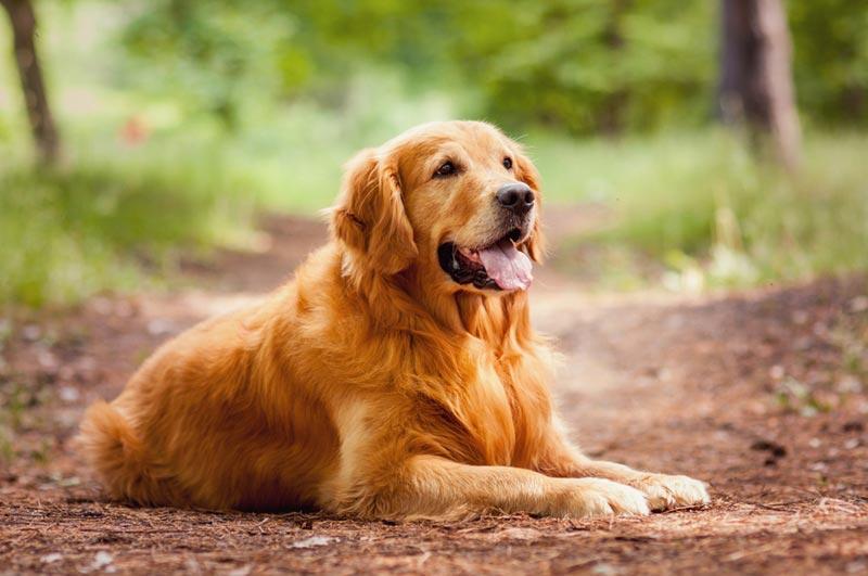 สุนัขโกลเด้นรีทรีฟเวอร์