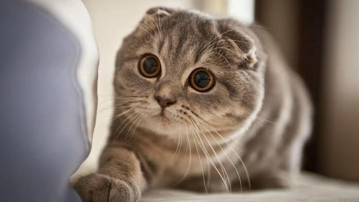 แมวสก็อตติช โฟลด์