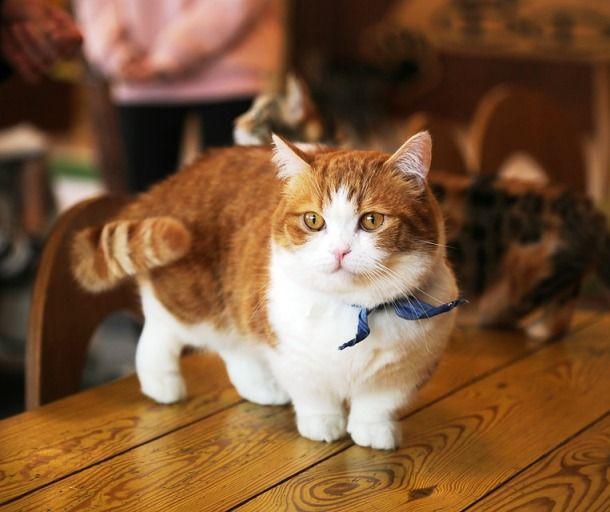 แมวมันช์กิ้น